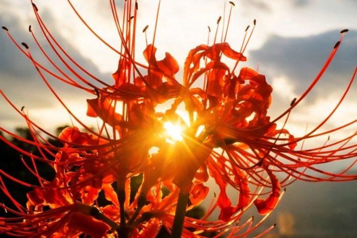 棚田inうきは彼岸花めぐり&ばさら祭 50万本と彼岸花と黄金色の稲穂