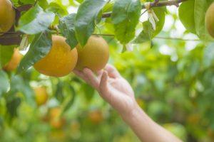 TVQ 夢・クルーズ 朝倉市にある秋月観光なし園を特集【りんご・梨狩り】