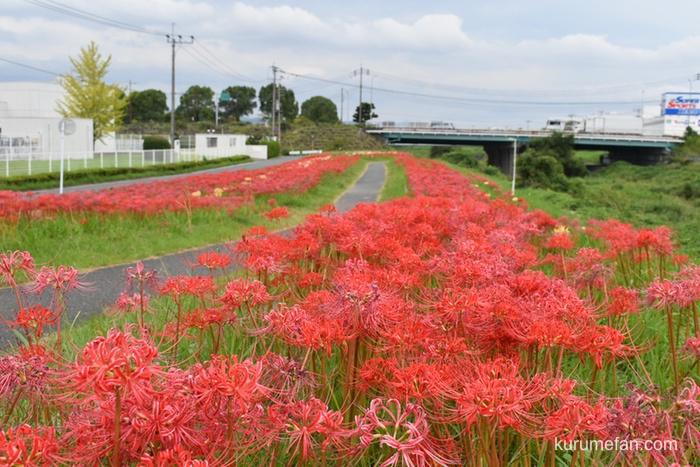 両サイドに咲く久留米市高良川の彼岸花