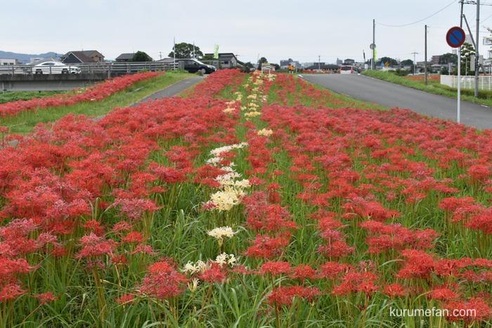 高良川沿いに咲く美しい約5万株の彼岸花にうっとり!【久留米市合川町】