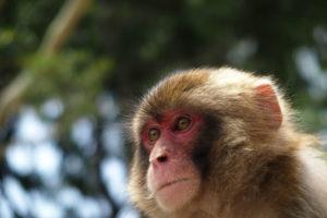 久留米市藤山町、国分町周辺で猿が出没 近づかないよう注意