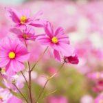 キリンビール福岡工場 コスモスフェスタ2018 約1,000万本の秋桜が彩る
