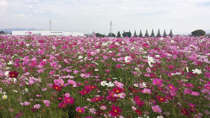 キリンビール福岡工場 コスモスフェスタ 朝倉市キリン花園