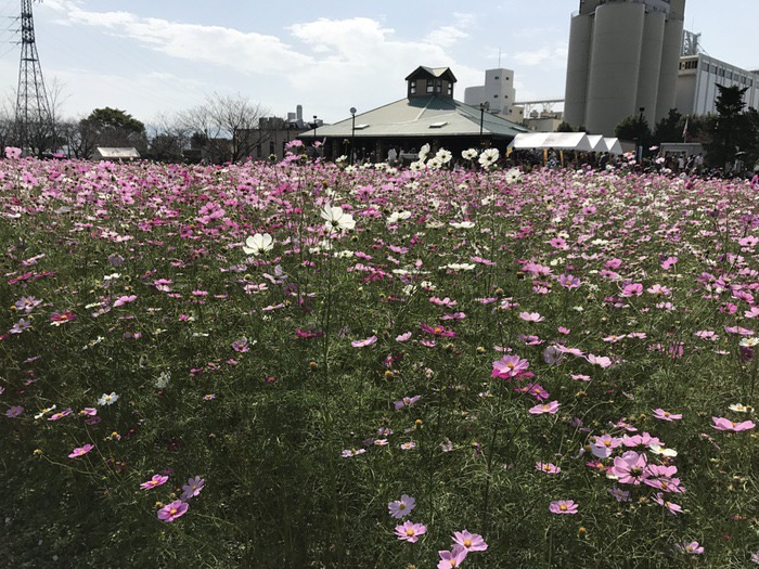 キリンビール福岡工場 コスモスフェスタ 秋桜