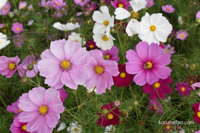 河川公園「リバーサイドパーク小森野地区」8分咲きのコスモス