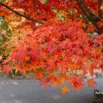 石橋文化センターの紅葉を見てきた!美しさにうっとり「もみじまつり」