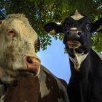 乳牛コンテスト バター手作り体験、牛乳の無料配布!乳牛が一堂に集まる