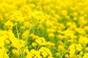 道の駅原鶴 ファームステーションバサロ「菜の花まつり」