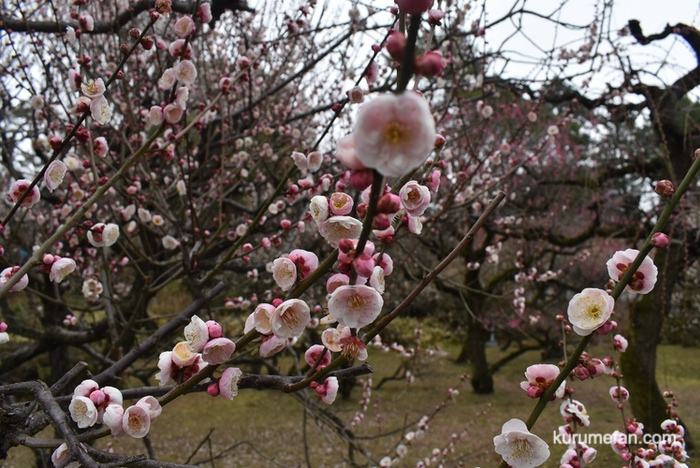梅林寺外苑の梅