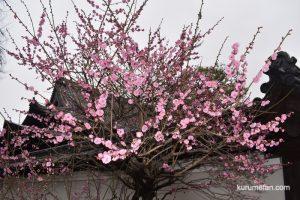 梅林寺外苑の梅をみてきた!久留米市の梅の名所【開花状況2019】