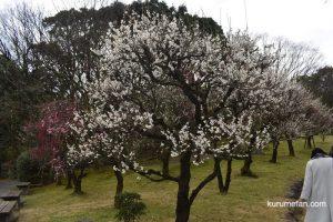 石橋文化センターの梅を観てきた!白梅や紅梅が咲き誇る【開花状況2019】