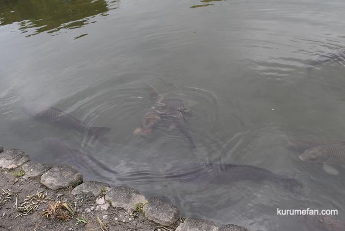 石橋文化センター 庭園内の鯉