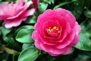 石橋文化センター 春の花まつり2019 つばきまつり 260種1,500本