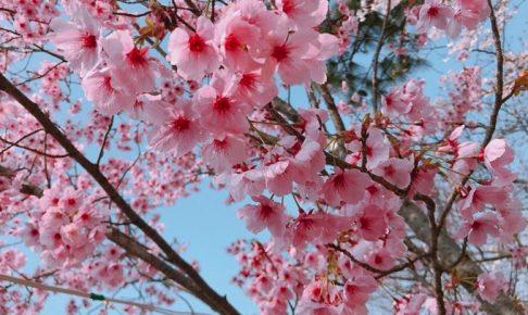 荒木町「鷲塚公園桜まつり」陽光桜や約150本の夜桜が楽しめる