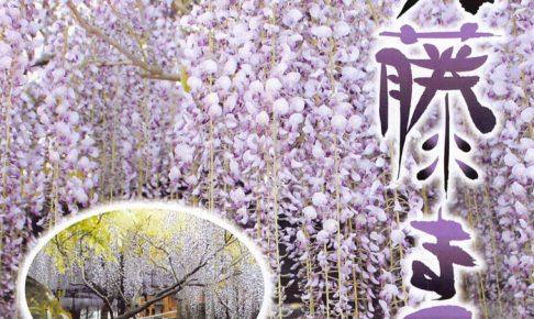 八女黒木大藤まつり 樹齢600年以上の大藤 ライトアップや物産展も