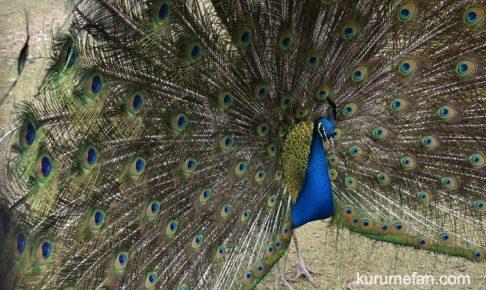 鳥類センター クジャクのライブカメラ配信がスタート いつでも視聴可能に