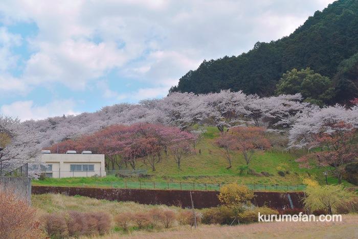 合所ダム公園の傾斜に咲く桜