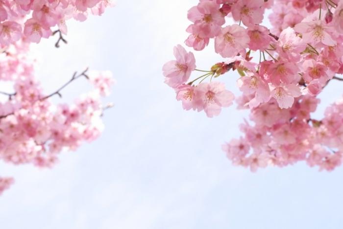 第8回 城島町民の森公園桜まつり 約200本の桜が咲き誇る