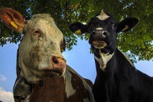 春の乳牛コンテスト 牛乳の無料配布や、ロールラップへの落書き体験