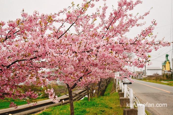 久留米市宮ノ陣町の桜並木の「河津桜」がキレイ!ピンク色の早咲きの桜