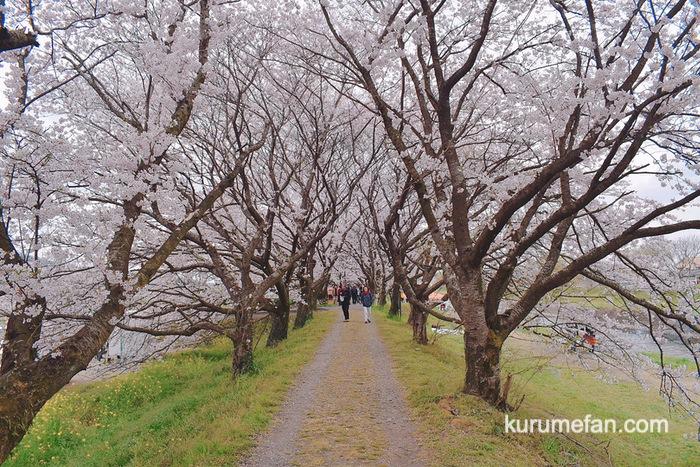 うきは市 流川さくら並木 桜のトンネル