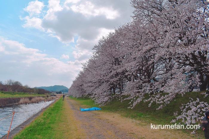 うきは市 流川さくら並木 サイドからみた桜の並木