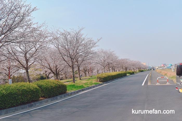 中干出(なかひいで)公園の桜並木