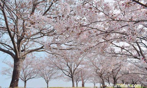 中千出公園の桜を見てきた!ゆめタウン久留米そばの桜並木(東合川)