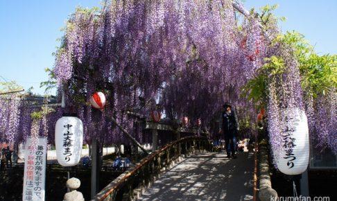 第16回 中山大藤まつり 樹齢約300年の藤の香りが辺り包む【柳川市】