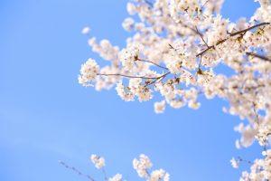 筑後市 石人まつり 約600本の桜! バザーや青空市場など開催