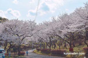 田主丸平原古墳公園へ桜を見てきた!約800本の桜に圧巻!【久留米市】