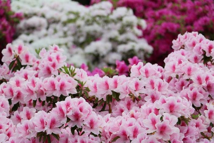 第62回 久留米つつじまつり 日本三大植木まつりに数えられる植木市