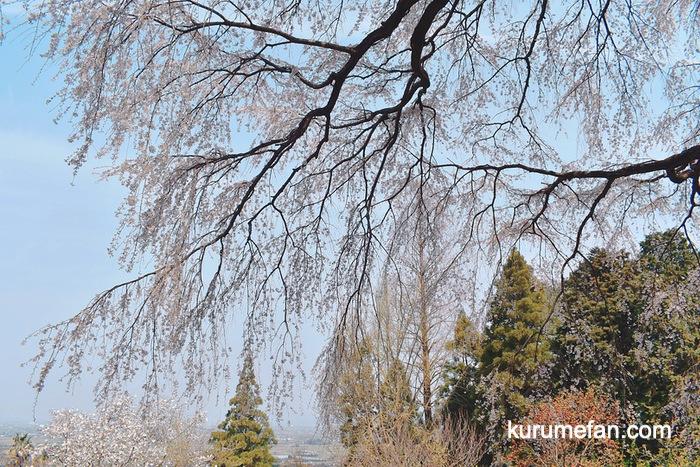 内山緑地 しだれの桜 久留米市