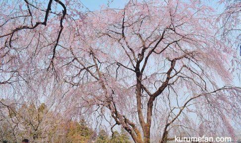 内山緑地のしだれの桜を見てきた!久留米市田主丸町にあるシダレサクラ