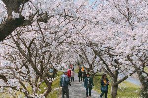 うきは市 約2キロ続く流川桜並木!うきは市 桜名所と桜祭りまとめ【開花情報】