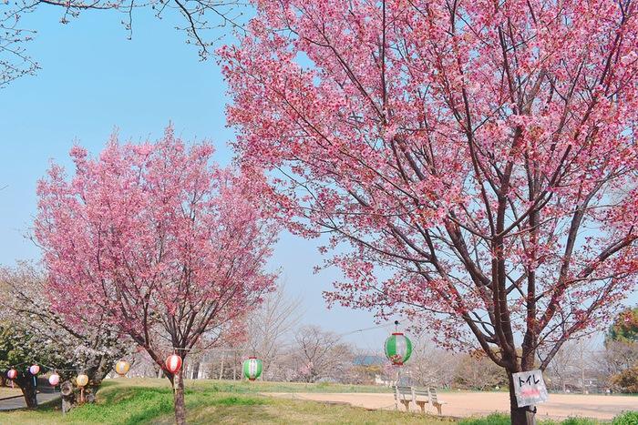 鷲塚公園にある陽光桜
