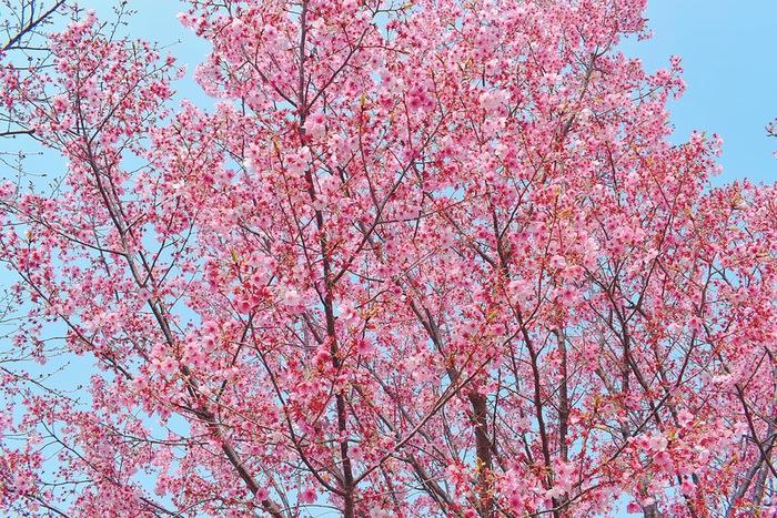 鷲塚公園にある濃いピンク色の桜