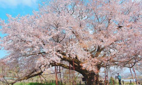 浅井の一本桜を見てきた! 水面に映る「逆さ桜」地元で愛されるヤマザクラ
