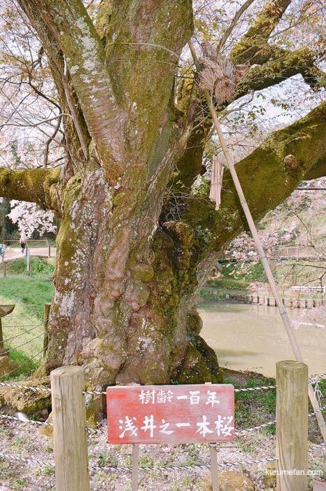 久留米市山本町にある浅井の一本桜の幹