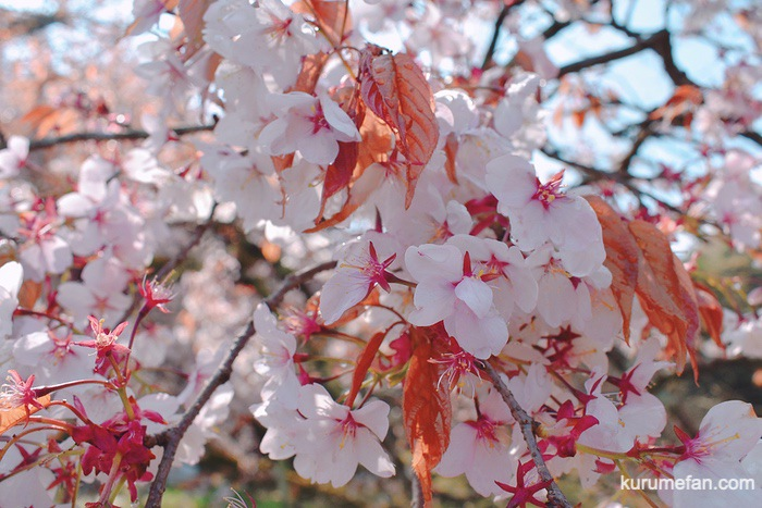 久留米市山本町にある浅井の一本桜の桜の花びら