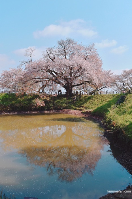 久留米市山本町にある浅井の一本桜 池に映る逆さ桜