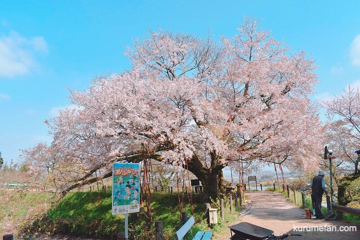 久留米市山本町にある浅井の一本桜