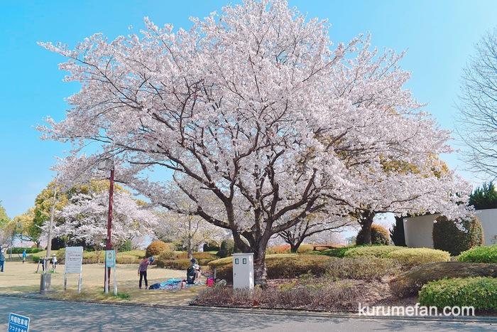 久留米百年公園の桜と久留米つつじまつりを見てきた!