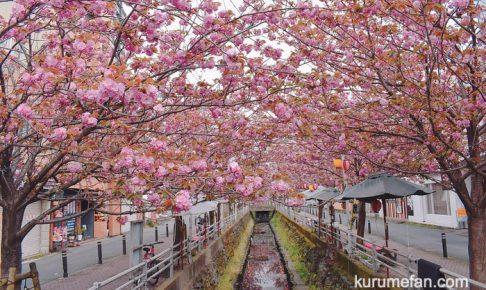 池町川沿いのサトザクラが満開!ピンク色の里桜のアーチ【久留米市】