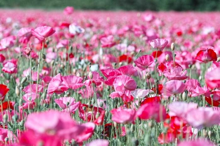 味坂ポピー祭り 約23,000平方メートル 約100万本が咲き誇る【小郡市】