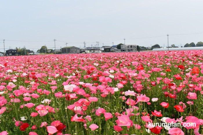 小郡市 味坂ポピー園 24,000平方メートル(8,000坪)の農地いっぱいにポピー約100万本