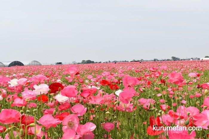 小郡市 味坂ポピー園 ピンク色のポピー