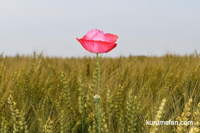 小郡市 味坂ポピー園 麦畑に咲く一輪のポピー