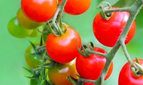 フルーツトマト狩り 甘いトマト食べ放題 完熟イチゴ並みのおいしさ 平井観光農園