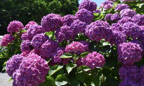 千光寺 あじさい祭り 色とりどり約7,000株の紫陽花【久留米市】
